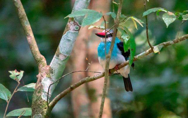 Martin-chasseur à poitrine bleue, Halcyon malimbica