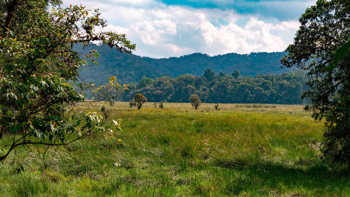 The bottom of the Bwindi forest, a magnificent marsh, with a completely different biodiversity: Frogs, Odonates, and various birds, including the rare and discreet Grauer's Swamp Warbler