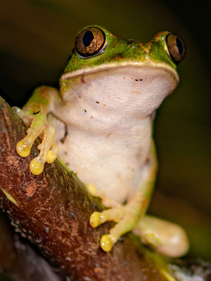 Amani forest treefrog, Leptopelis vermiculatus. Tanzania endemic
