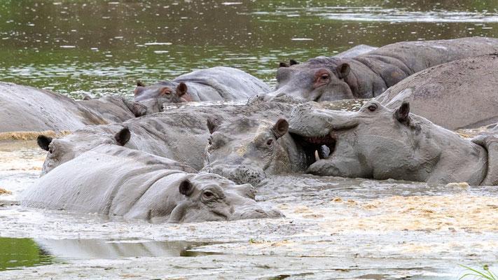 Hippopotame amphibie, Hippopotamus amphibius