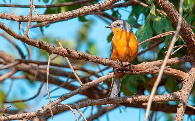 Silverbird, Empidornis semipartitus