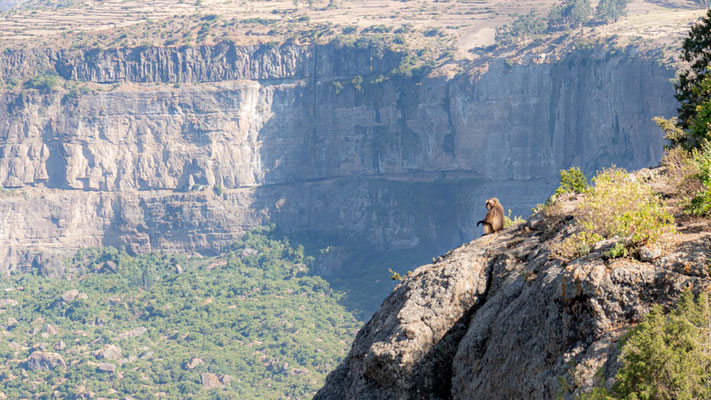 Gelada on the edge of a cliff, Debre Lebanos