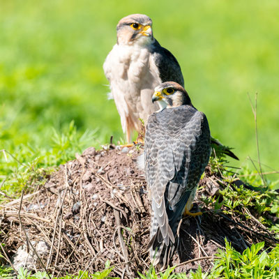 Couple de Faucon lanier, Falco biarmicus