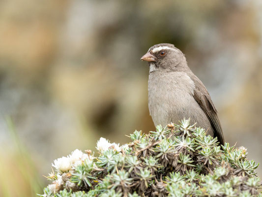 Brown-rumped Seedeater s, Crithagra tristriata. Endemic to the Horn of Africa.