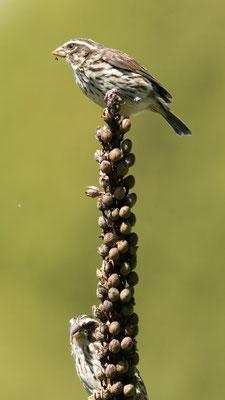 Streaky Seedeater, Crithagra striolata