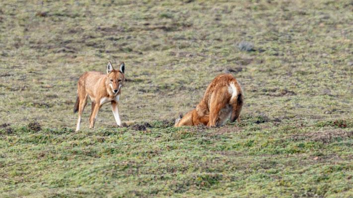Loup d'Abyssine, clef de notre voyage!!! Canis simensis. Probablement une fratrie.
