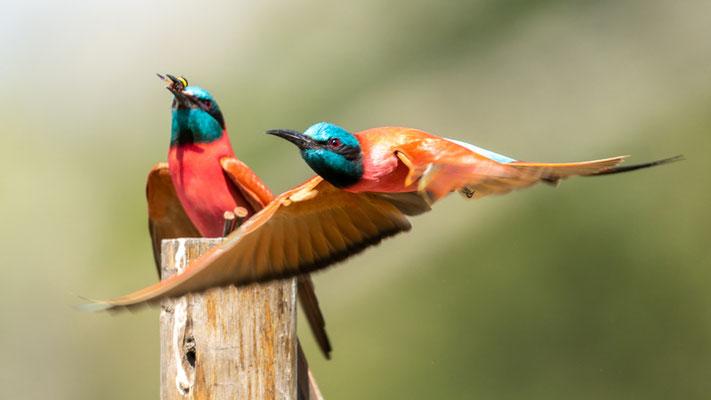 Northern Carmine Bee-eater, Merops nubicus. Hara Lodge