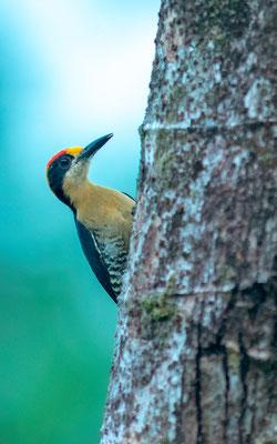 Golden-naped Woodpecker, Melanerpes chrysauchen, around Punta marenco lodge