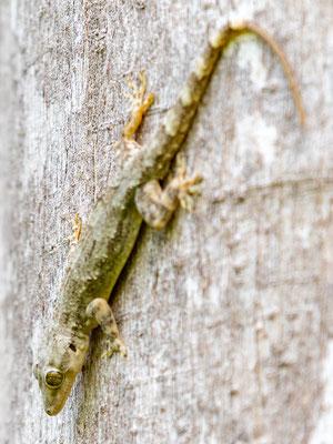 Hemidactylus sp.