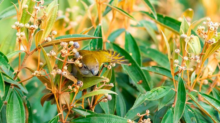 Paruline à flancs marrons, Setophaga pensylvanica