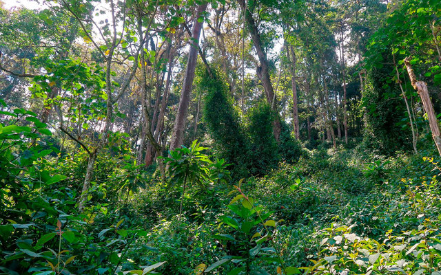 The undergrowth of the Bwindi forest