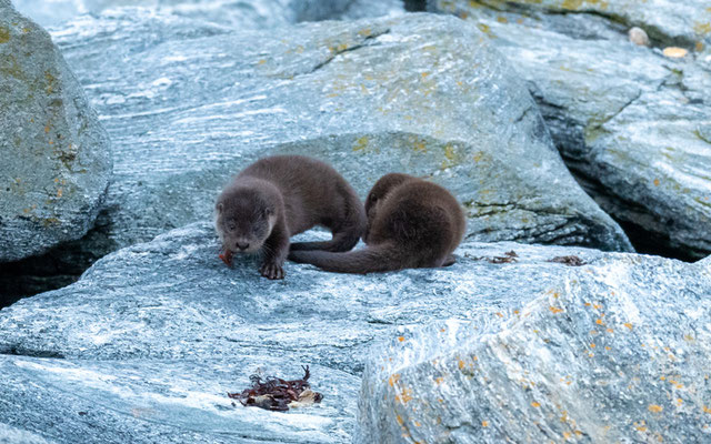 Two young Eurasian otter, Lutra lutra. Great moments: the female bringing fish to her young! Unfortunately, the light was not there at all...