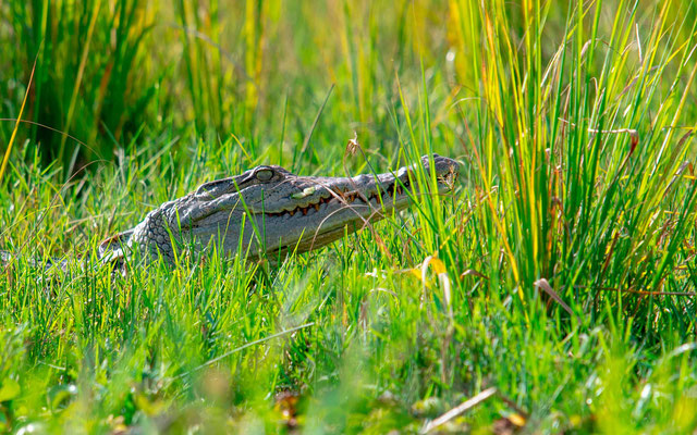 Crocodile du Nil, Crocodilus niloticus