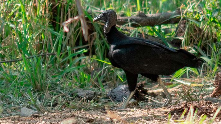 Urubu noir, Coragyps atratus