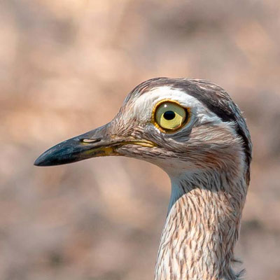 Oedicnème bistrié, Burhinus bistriatus
