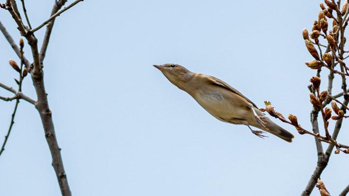Garden Warbler, Sylvia borin called the arrow!