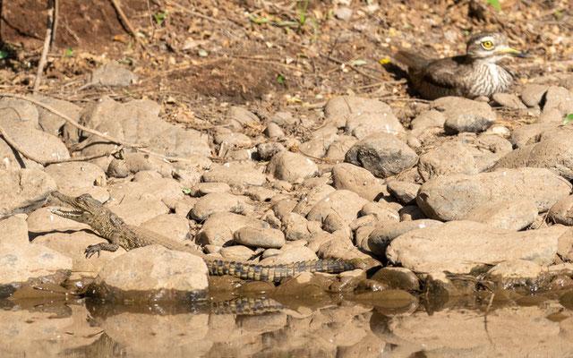 Jeune Crocodile du Nil, Crocodylus niloticus et Oedicnéme du Sénégal, Burhinus senegalensis