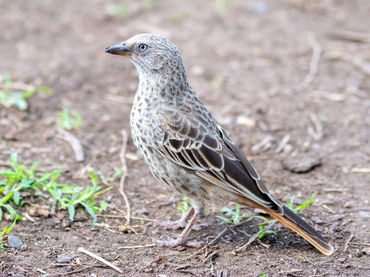 Histurgopse à queue rouge, Histurgops ruficauda. Endémique de la Tanzanie et du Kenya.