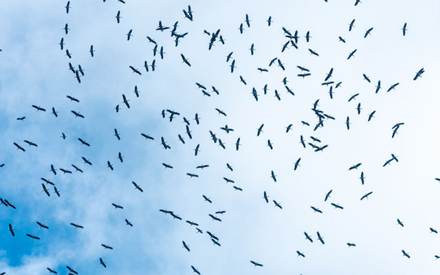 Flight of  White Stork , Ciconia ciconia in active migration