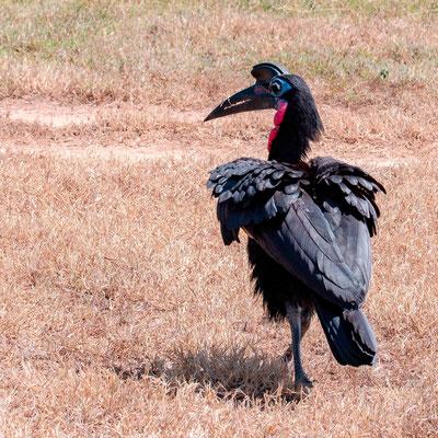 Abyssinian Ground Hornbill, Bucorvus abyssinicus