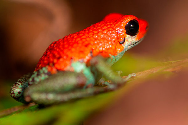 Granular poison frog, Oophaga granulifera on the edge of the track leaving the lodge. Endemic of southwest Costa Rica. Observed only once.