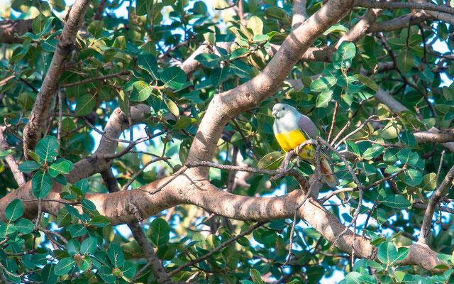 Bruce's Green Pigeon, Treron waalia