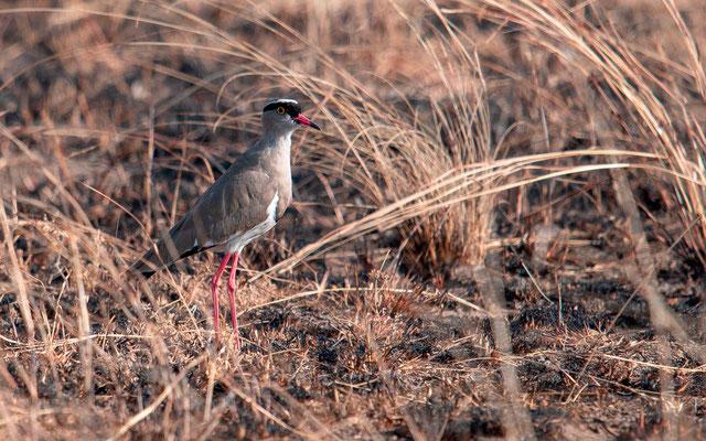 Vanneau couronné, Vanellus coronatus