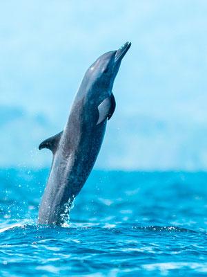 Dauphins tacheté pantropical,  Stenella attenuata dans le Golfo Dulce