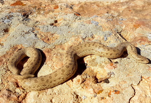 Boa ses sable indétérminé, genre Eryx. Golestan, Iran mai 2017
