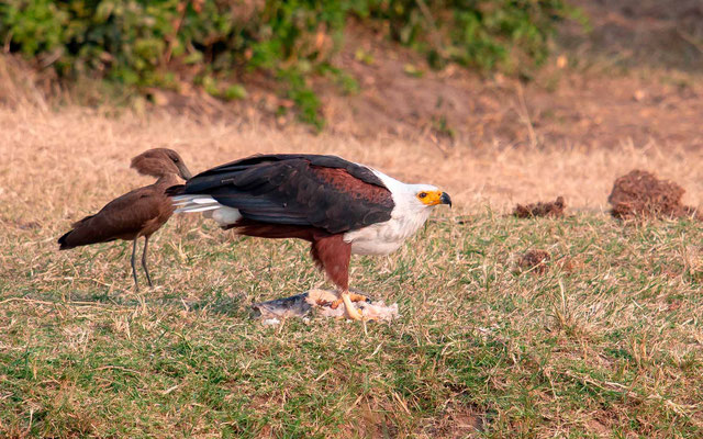 African Fish Eagle, Haliaeetus vocifer and a Hamerkop waiting for its share