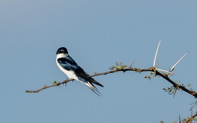 White-tailed Swallow, Hirundo megaensis. Endemic to the Yabelo region