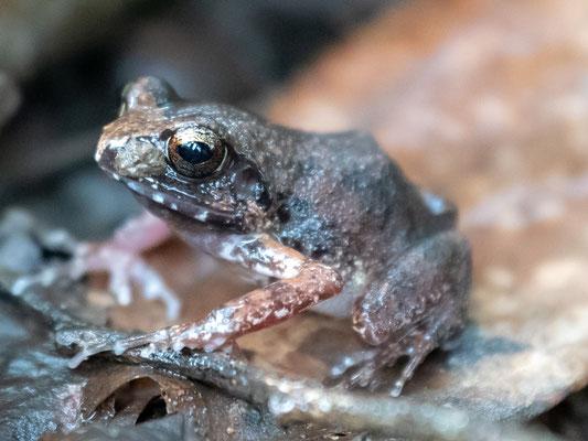 Common squeake, Arthroleptis stenodactylus