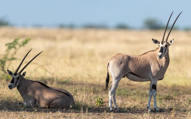 East African oryx, Oryx beisa. Aledeghi reserve