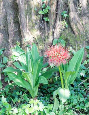 Ail rouge, Scadoxus multiflorus