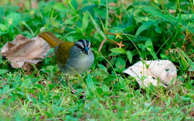 Black-striped Sparrow, Arremonops conirostris