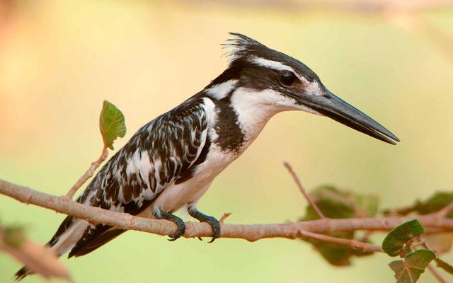 Pied Kingfisher, Ceryle rudis