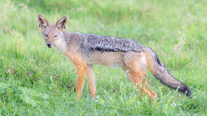 Black-backed jackal , Canis mesomelas