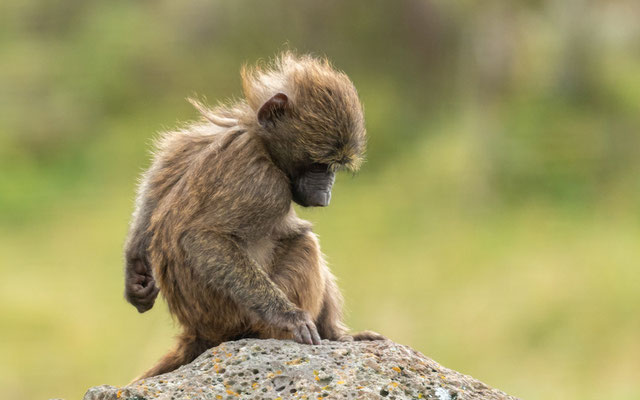 Olive Baboon, Papio anubis. Young