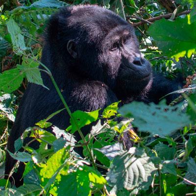 Mountain Gorilla, Gorilla beringei beringei