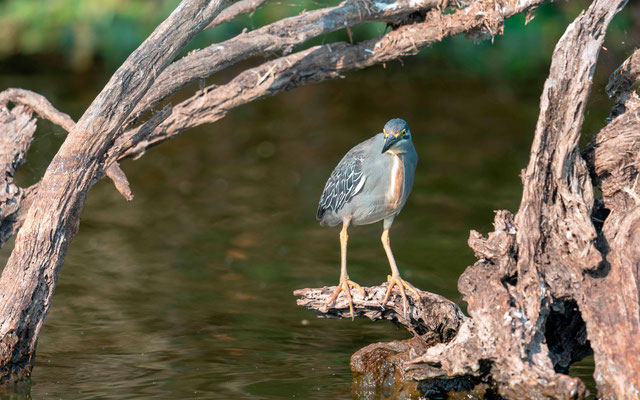 Striated Heron, Butorides striatus