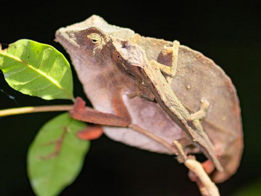 En attente de détermination, probablement Le Caméléon pygmé à petite queue, Rhampholeon brevicaudatus, avec un de ses jeunes sur son corp, incroyable!
