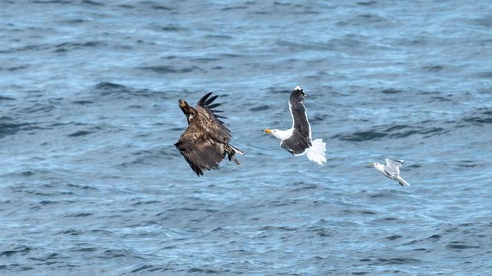 Jolie scène; un Pygargue à queue blanche, Haliaeetus albicilla, immature se fait harceler par un Goéland marin, Larus marinus, lui même suivi de près par un Goéland cendré, Larus canus