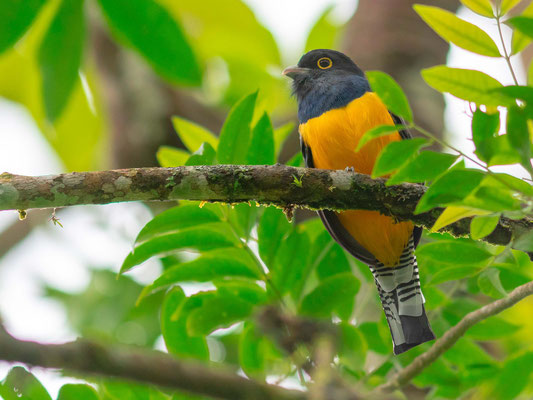 Trogon pattu mâle, Trogon caligatus