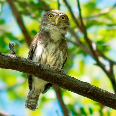 Ferruginous Pygmy Owl, Glaucidium brasilianum