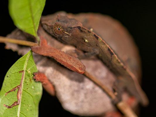Rieppeleon brevicaudatus, femelle, le grand individu et Rhampholeon uluguruensis le petit animal qui est accroché à l'autre !