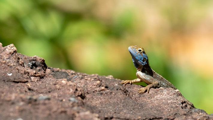 Agama  montana, Agame endémique des Usambara