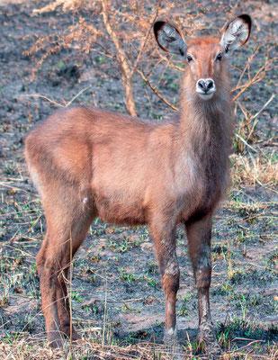 Waterbuck, Kobus ellipsiprymnus
