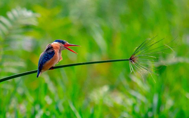Malachite Kingfisher, Alcedo cristata