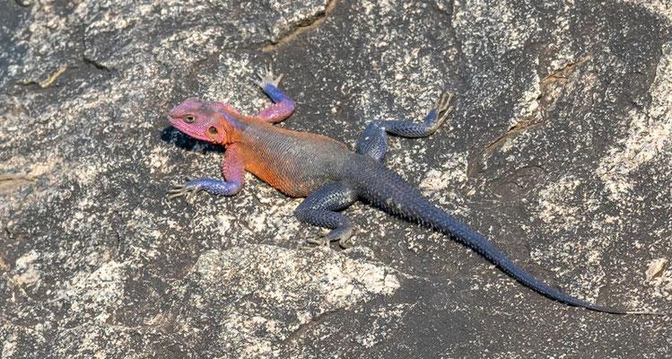 Agama mwanzae mâle. Endémique de la Tanzanie et du Kenya