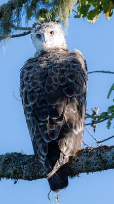 Martial Eagle, Polemaetus bellicosus, imature